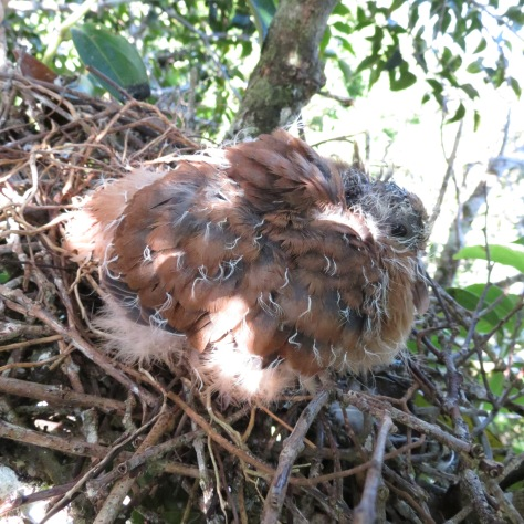 Quite a rare sight, a pink pigeon squab (baby) in the nest, courtesy of one of our friends who climbed up the tree for this.