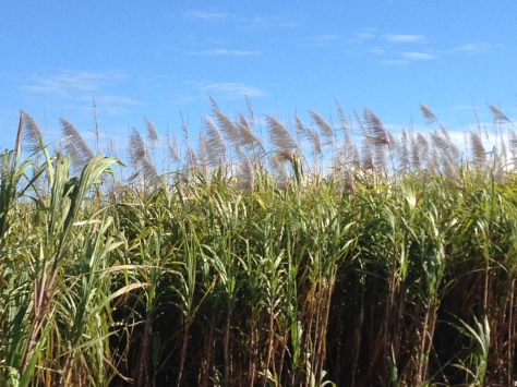 The comforting view of sugarcane along the long winding roads is worth it though