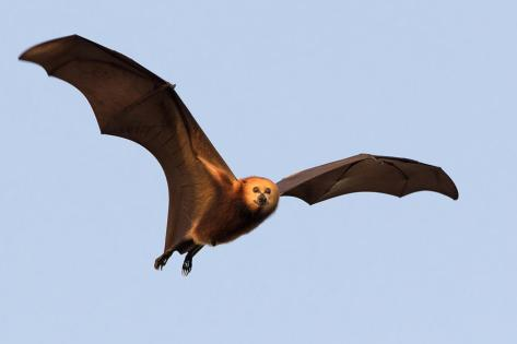 flyingfox1