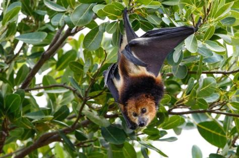 The Flying Fox in the wild. Photograph by Jaques de Speville, on National Geographic