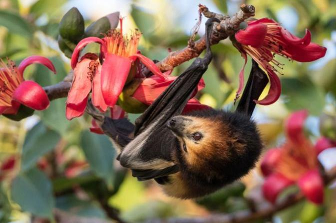 Bat cull in Mauritius: the new feat of my country